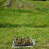 マコモ苗20株定植でした 2017-05-15