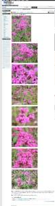虫取り撫子とは - 植物図鑑 Weblio辞書