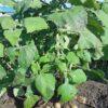 さあ皆さん、ヤーコンの栽培を始めましょう:ヤーコンおやじのブログ:SSブログ
